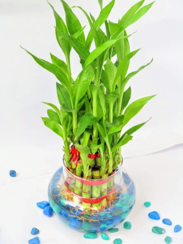 luck bamboo plant