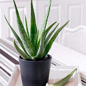Aloe Vera Plant online