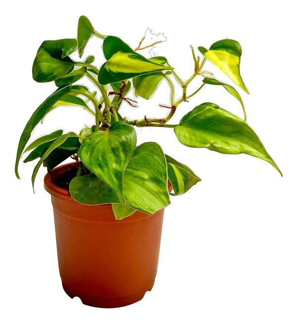 Buy Money Plant-Basil Philodendron