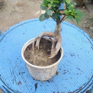 Buy Bonsai Ficus online