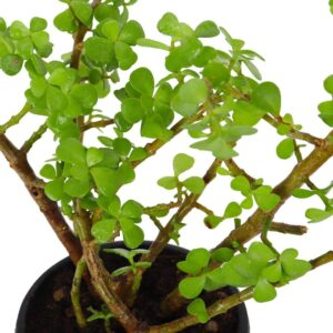 Crassula Ovata (Jade Green)