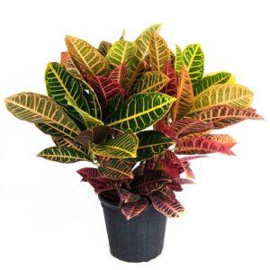 Croton petra Plant, Codiaeum (Petra)