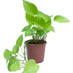 Buy Money Plant Golden