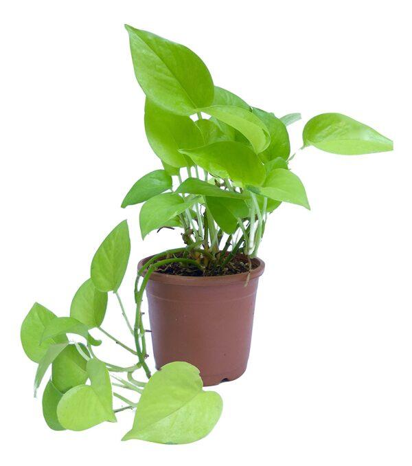 Buy Money Plant Golden