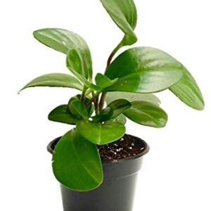 Green Peperomia Succulent image