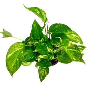 Green Money plant