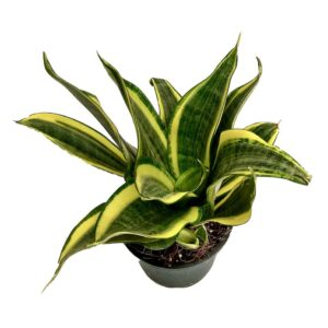 snake plant or Sansevieria golden image nanhapodha