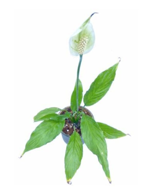 Peace lily plant image