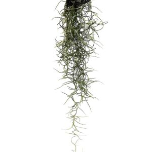 Tillandsia Spanish Moss Air Plant