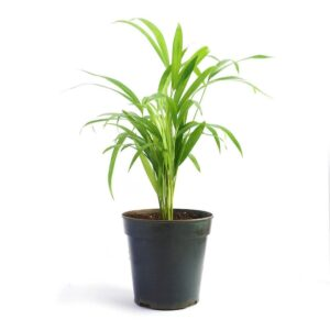 Areca Palm Air Purifier