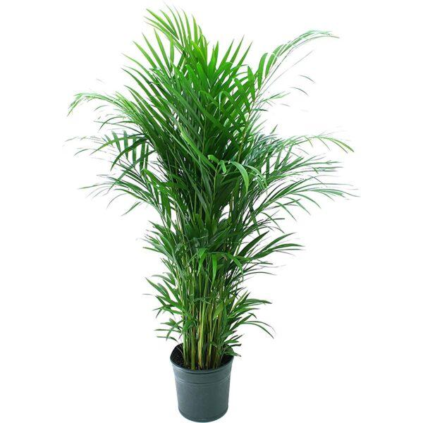 Areca Palm Air Purifier