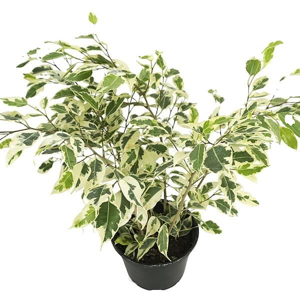 ficus starlight - ficus benjamina variegata