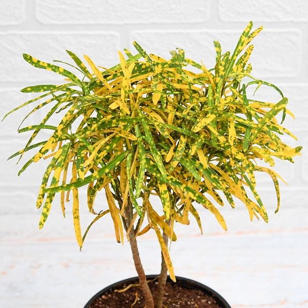 croton gold dust (thin leaves)