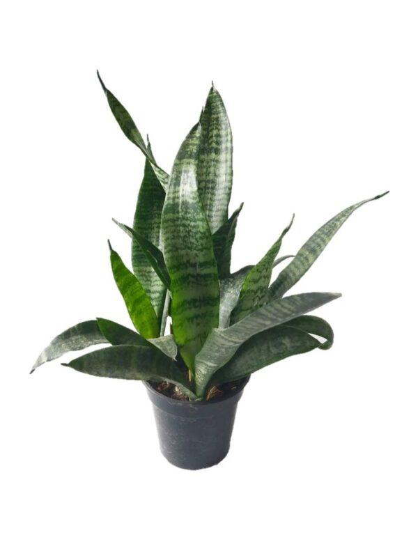 Sansevieria Green Snake Plant