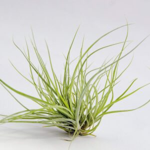 tillandsia cotton candy air plant